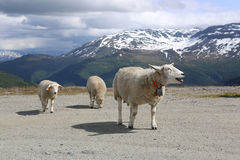 Sheep on Road Royalty Free Stock Image