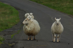 Sheep on a road in the Yorkshire Dales Royalty Free Stock Image