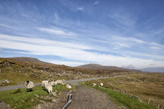 Sheep on roadside Royalty Free Stock Images