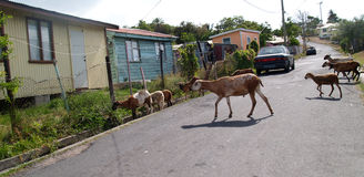 Sheep Roaming the Neighborhood in Antigua royalty free stock images