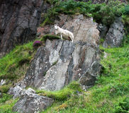 Sheep on a rock Royalty Free Stock Photography