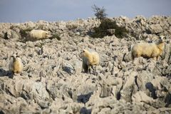 Sheep on rock Stock Images