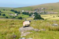 Sheep on rock Merrivale Dartmoor Devon Royalty Free Stock Photography