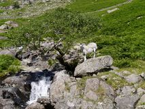 Sheep on rock by tiny waterfall Stock Image