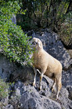 Sheep on the rocks grazing Royalty Free Stock Image