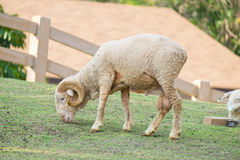 Sheep roll horn graze. In farm Royalty Free Stock Photos