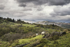 Sheep on rolling hillside landscape in Lake District in England Royalty Free Stock Photo