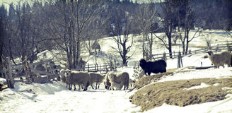 Sheep in Romanina countryside Royalty Free Stock Photo