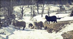 Sheep in Romanina countryside Royalty Free Stock Image