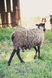 Sheep of Romanov breed on green glade Royalty Free Stock Photos