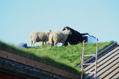 Sheep on the roof of a Lofoten's barn Stock Image