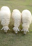 Sheep in row Stock Photo