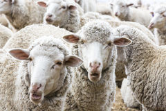 Sheep ruminate the day. South Africa Stock Images