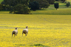 Sheep on the run across a field of yellow flowers Royalty Free Stock Image