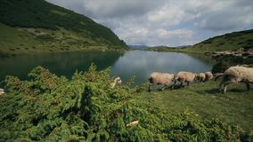 Slow motion. Sheep run away near the mountain lake in the Carpathian Mountains stock footage