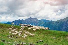 Sheep run on green mountain pastures Stock Photos