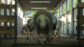 Sheep run to the corral stock video footage