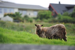 Sheep in Runavik Stock Image