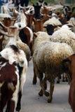 Sheep running Stock Photography