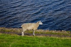 Sheep running on the beach stock photography