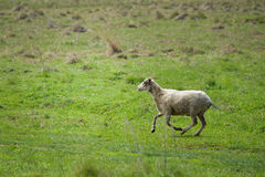 Sheep running fast on green grass of spring meadow Royalty Free Stock Photo