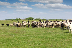 Sheep running on field Royalty Free Stock Photos