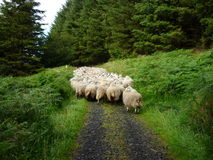 Sheep. A running flock of sheep in county Antrim, Northern Ireland stock photos