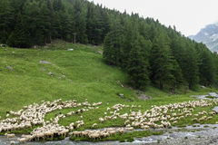 Sheep. Running free in the mountain Royalty Free Stock Photography