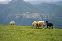 Sheep Running on Meadow Royalty Free Stock Image
