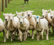 Sheep running in meadow in New Zealand Stock Image