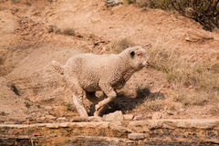Sheep running over rocky area Stock Photos