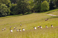 Sheep running and playing in the English countryside. Stock Photography
