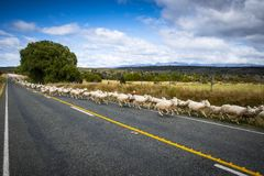 Sheeps changing pasture in New Zealand stock photos