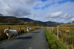 Sheep running on rural lane in Snowdonia Royalty Free Stock Image