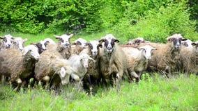 Sheep running towards camera stock video footage