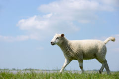 Sheep running Royalty Free Stock Image