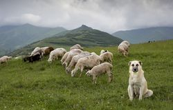 Sheep in rural Armenia. Sheep on a green fields of rural Armenia stock images