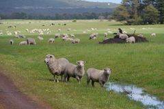 Sheep in a rural Australian landscape Stock Images