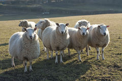 Sheep in rural countryside Royalty Free Stock Photography