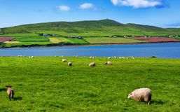 Sheep in rural landscape for farming Royalty Free Stock Photos