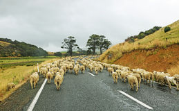 Sheep rush. Traditional sheep rush in  New Zealand Royalty Free Stock Image