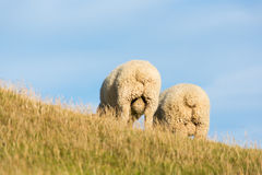 Sheep's backside. 2 sheep in New Zealand - showing off their backside stock photography