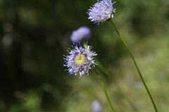 Sheep`s bit scabious Royalty Free Stock Image