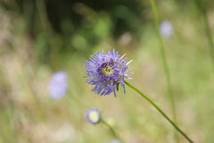Sheep`s bit scabious Royalty Free Stock Photos