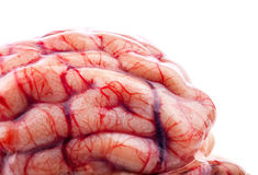 The sheep's brain. On white background royalty free stock photo