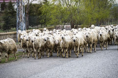 Sheep`s, dozens of sheep passing by, sheep returning home, sheep`s arm. Stock Photography