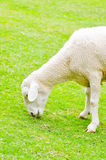 A sheep 's eating some glass. In the field Royalty Free Stock Photos