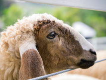Sheep's face on the wire fence Stock Photo