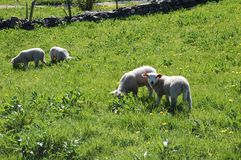 Sheep`s in field royalty free stock photos