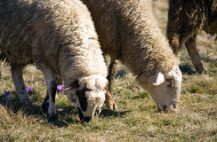Sheep's graze. Two sheep's browse the grass Stock Photography